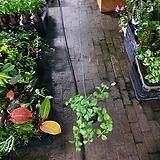 디시디아그린 기본 수입식물 40~50cm|