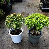 좀마삭 외목대 대형 공기정화식물 35~50cm|