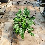 숱많은셀렘 셀럼 중품 공기정화식물 40~50cm|