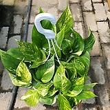 골드마블스킨걸이 공중식물 대박상품 걸이포함40~50cm|
