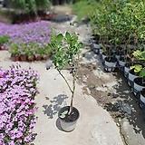 블루베리나무블루크롭 나무블루크롭 열매식물 50~70cm|