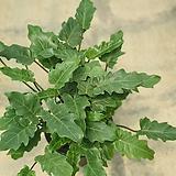 숱많은셀렘 셀럼 대품 공기정화식물 50~70cm|