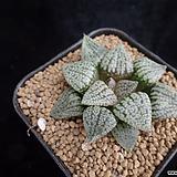 오쿠포픽타182|Haworthia picta
