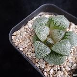오쿠포픽타817|Haworthia picta