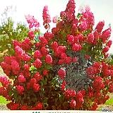 (유럽목수국 신품종) 매지컬파이어 매직컬파이어|Hydrangea macrophylla