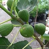 무화과(대품) 열매가 주렁주렁|
