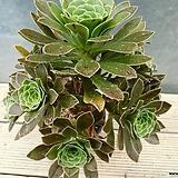 청법사1두1960|Aeonium arboreum