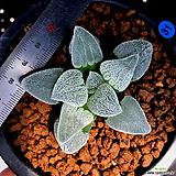 하월시아 피그마에아 백은철도(31) Haworthia pygmaea