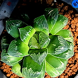 하월시아 정수(81) haworthia