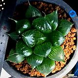 하월시아 그린웃디(55) haworthia