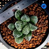 하월시아 몰도르(30) haworthia