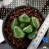 하월시아 스프링복스 트로피칼나이트(9) haworthia