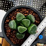 하월시아 스프링복스 트로피칼나이트(8) haworthia