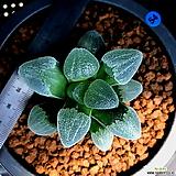 하월시아 피그마에아 대설산(54) Haworthia pygmaea