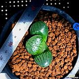 하월시아 스프링복스(79) haworthia
