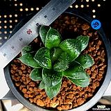 하월시아 정수(51) haworthia