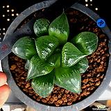 하월시아 아한호(26) haworthia