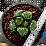 하월시아 스프링복스 트로피칼나이트(5) haworthia