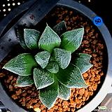 하월시아 백은회권(50) haworthia