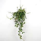 호야마니당 / 호야 / 꽃피는호야 / 수입식물 / 공기정화식물 / 한빛농원|