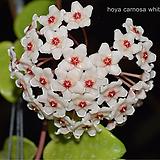 꽃피는호야 / 호야 / 호야파치클라다 화이트 / 공기정화식물 / hoyapachyclada / 한빛농원|Hoya carnosa