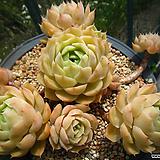 온슬로우(자연대품)0617|Echeveria cv  Onslow