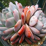 오렌지먼로0617|Echeveria Monroe(Orange)