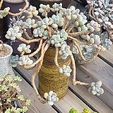 달마미인 한몸|Pachyphytum oviferum