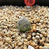 코노피튬-부르게리 76|Conophytum