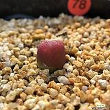 코노피튬-마우가니 78|Conophytum maughanii