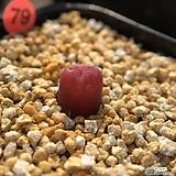 코노피튬-마우가니 79|Conophytum maughanii