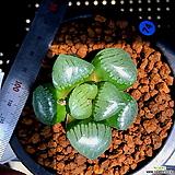 하월시아 스프링복스 트로피칼나이트(74) haworthia