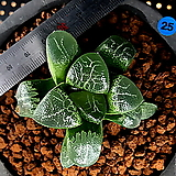하월시아 니시 코렉타(25) haworthia