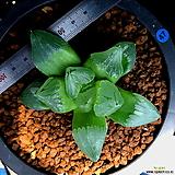 하월시아 피그마에아 뮤턴트(47) Haworthia pygmaea