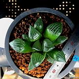 하월시아 코렉타 도희(24) haworthia