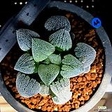 하월시아 피그마에아 설촌(44) Haworthia pygmaea