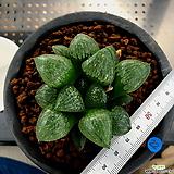 하월시아 월영(22) haworthia