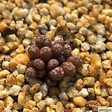 코노피튬-미누스쿨럼17두(소형종) 85|Conophytum