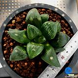 하월시아 아트로푸스카(19) haworthia