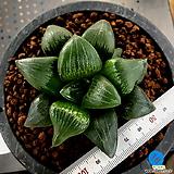 하월시아 아트로푸스카(18) haworthia