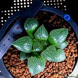 하월시아 월영(64) haworthia