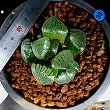 하월시아 스프링복스 트로피칼나이트() haworthia