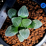하월시아 피그마에아 대설산(63) Haworthia pygmaea