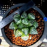 하월시아 설경색(37) haworthia