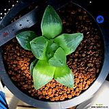 하월시아 피그마에아 뮤턴트(36) Haworthia pygmaea