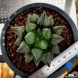 하월시아 아트로푸스카 뮤턴트(14) haworthia