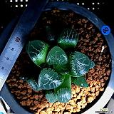 하월시아 니시 코렉타(60) haworthia