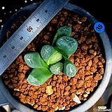 하월시아 만상 천조(35) haworthia