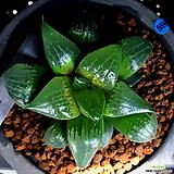 하월시아 아한호(59) haworthia