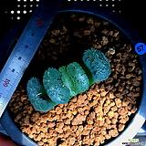 하월시아 옥선 흑무대(57) haworthia